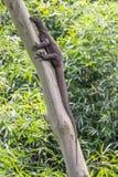 Lagarto de monitor que sube en un árbol de eucalipto Imagenes de archivo