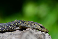 Lagarto de monitor - Varanus Salvador - reptiles de Tailandia Imágenes de archivo libres de regalías