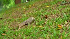 Lagarto de Varan en un prado en un parque tropical almacen de video