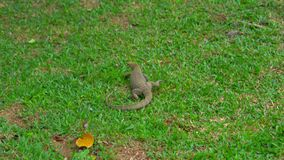 Lagarto de Varan en un prado en un parque tropical metrajes