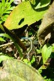 Lagarto de Whiptail centroamericano Imagen de archivo libre de regalías