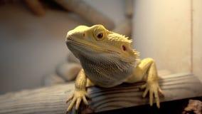 Lagarto del Agama, dragón barbudo almacen de metraje de vídeo