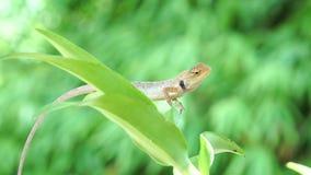 Lagarto del camaleón que mueve el ojo grande mientras que mira alrededor y muévese lentamente en rama de árbol almacen de video