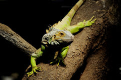 Lagarto del camaleón Imagenes de archivo