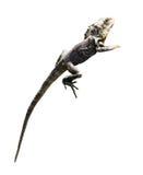 lagarto del Con volantes-cuello Fotografía de archivo