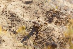 Lagarto del desierto Fotos de archivo libres de regalías
