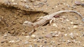 Lagarto del desierto en un agujero metrajes