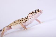 Lagarto del Gecko imágenes de archivo libres de regalías