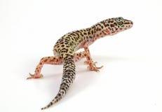 Lagarto del gecko del leopardo imagenes de archivo