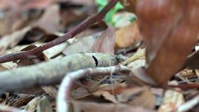 Lagarto del jardín de Calotes (Agama) en bosque en Tailandia - 4k CLIP 3 almacen de metraje de vídeo