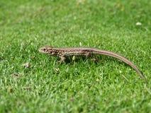 Lagarto del reptil Fotografía de archivo