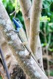 Lagarto dirigido azul llamativo en un árbol en Vietnam Foto de archivo