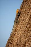 Lagarto do agamá, Kenya, África foto de stock