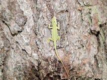 Lagarto do bebê no pinheiro amarelo Imagem de Stock