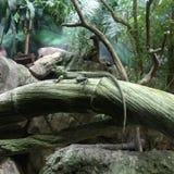 Lagarto do camaleão Fotografia de Stock