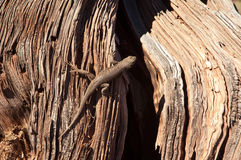 Lagarto do deserto Foto de Stock
