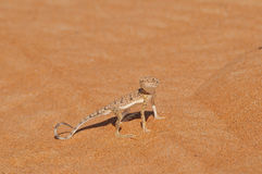 Lagarto do deserto Fotografia de Stock