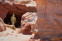 Lagarto do deserto Imagem de Stock