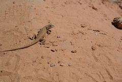 Lagarto do deserto, Moab, Utá fotos de stock