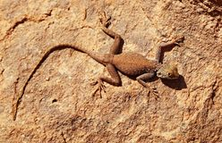 Lagarto do deserto na rocha Foto de Stock Royalty Free