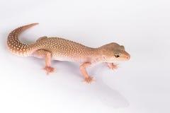 Lagarto do Gecko imagens de stock royalty free