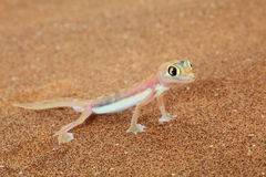 Lagarto do gecko de Palmato no deserto de Namib, Namíbia Fotografia de Stock Royalty Free