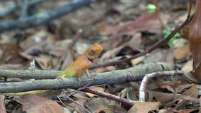 Lagarto do jardim de Calotes (agamá) na floresta em Tailândia - 4k GRAMPO 1 video estoque