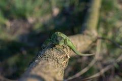 Lagarto em uma árvore viva foto de stock