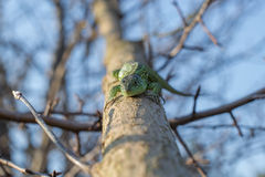 Lagarto em uma árvore viva fotografia de stock royalty free