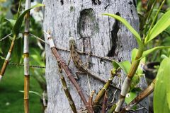 Lagarto en el árbol de Maldivas Fotografía de archivo