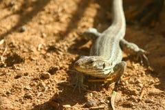 Lagarto en el ambiente natural Fotografía de archivo libre de regalías
