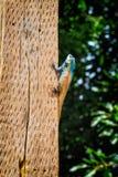 Lagarto en el pilar de madera Foto de archivo