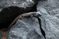 Lagarto en la isla de Tenerife Imagenes de archivo