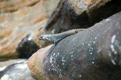 Lagarto en la roca Imagen de archivo libre de regalías