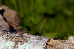 Lagarto en un árbol caido Fotos de archivo