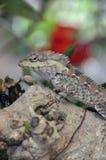 Lagarto en un árbol, con mirada inteligente Fotografía de archivo libre de regalías