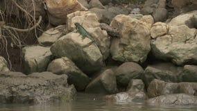 Lagarto en una piedra, parque de Wisirare, Colombia de la iguana almacen de video