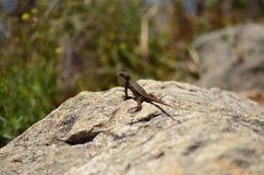 Lagarto en una roca Foto de archivo libre de regalías
