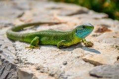 Lagarto esmeralda verde de la salamandra que toma el sol en una roca Fotos de archivo libres de regalías