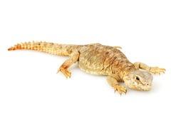 lagarto Espinoso-atado foto de archivo