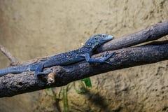 Lagarto espinoso azul en la rama imágenes de archivo libres de regalías