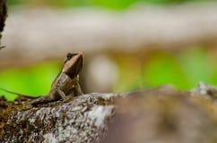 Lagarto espinoso de Orangr Fotografía de archivo