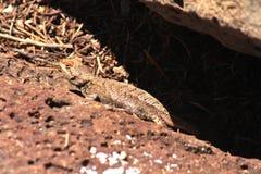 Lagarto espinoso del desierto Fotografía de archivo libre de regalías