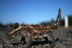 Lagarto espinoso del diablo, Australia Foto de archivo