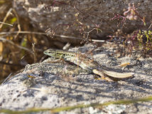 Lagarto Eyed serpente imagem de stock