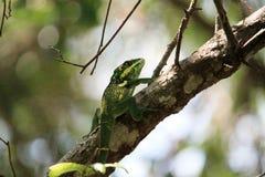 Lagarto grande en rama de árbol en la Florida del sur Foto de archivo