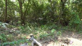 Lagarto grande que se arrastra a través de los arbustos, hierba, hojas almacen de video