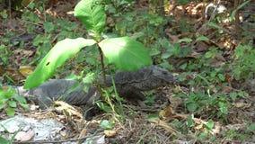Lagarto grande que se arrastra a trav?s de los arbustos, hierba, hojas almacen de video
