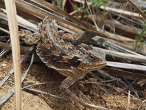 Lagarto Horned do deserto do sul Foto de Stock