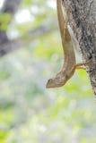Lagarto invertido en árbol Fotografía de archivo libre de regalías